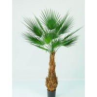 Palmera Palma Washingtonian